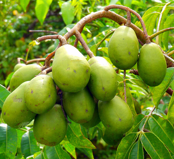 fruits ambarella