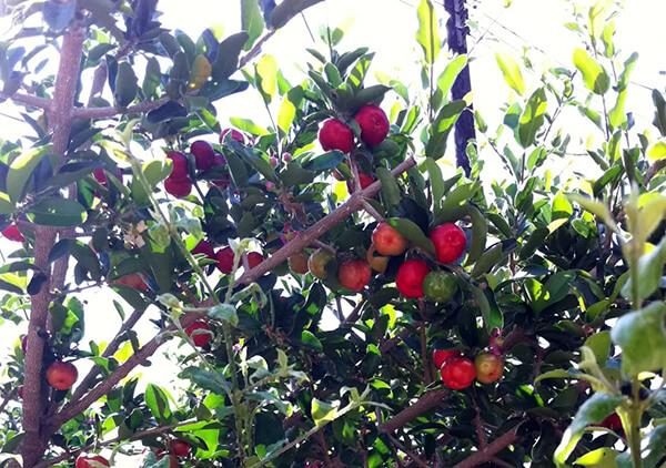 fruits barbados cherry