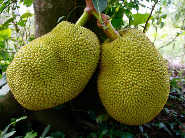 fruits jackfruit