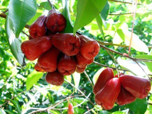 fruits java apple 2