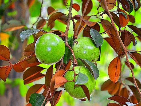 fruits star apple