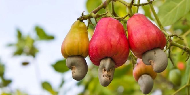 HEALTH BENEFITS OF CASHEW FRUIT