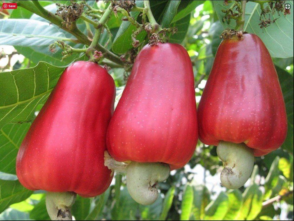 What are the benefits of the cashew fruit?